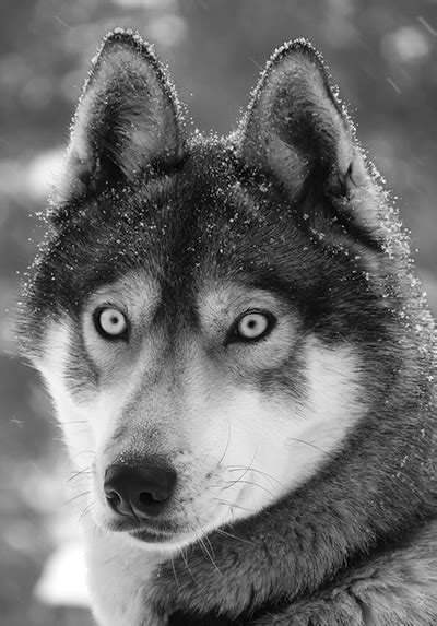 Togo – the rowdy pup that became a legendary sled dog