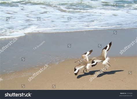Two Sandpiper Birds Flying In Tandem On The Beach