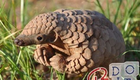 Coronavirus: scientists suspect that pangolin is the cause